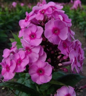 phlox guys Phlox subulata, commonly called moss phlox, moss pink, mountain phlox or creeping phlox, is a vigorous, spreading, mat-forming, sun-loving phlox that grows to only 6.